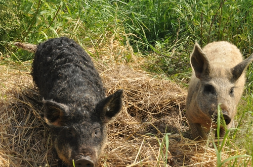 Die Wollschweine sind da.